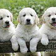 Three Golden Retriever Puppies Poster