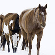 Three Horses Walking Through The Snow Poster by Carol Walker