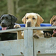 Three Kinds Of Labradors Poster