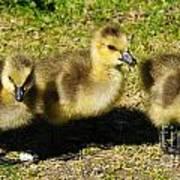 Three Little Goslings Poster