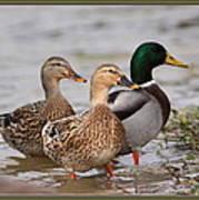 Three Mallards Card - Ducks Poster