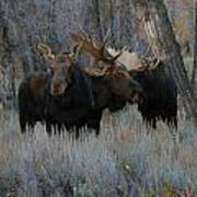 Three Moose In The Woods Poster