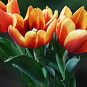 Three Orange And Red Tulips Poster