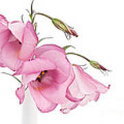 Three Pink Lisianthus Flowers Poster