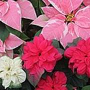 Three Pink Poinsettias Poster