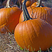 Three Pumpkins Poster