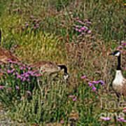 Three Quiet Canada Geese Poster by Susan Wiedmann