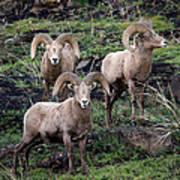 Three Rams Poster