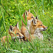 Three Red Fox Pups Poster