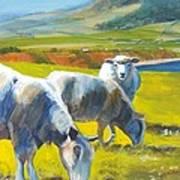 Three Sheep On A Devon Cliff Top Poster