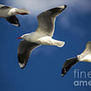 Three Silver Gulls In Flight Poster by Avalon Fine Art Photography