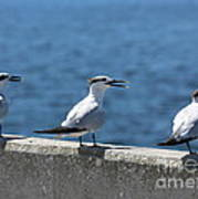 Three Turning Terns Poster