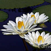 Three White Tropical Water Lilies Version 2 Poster