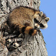 Three Young Raccoons Poster