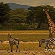 Three Zebras And A Giraffe Poster