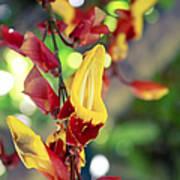 Thunbergia Mysorensis - Trumpetvine Poster