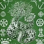 Thuroidea From Kunstformen Der Natur Poster