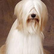Tibetan Terrier Dog Poster