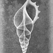 Tibia Sea Shell X-ray Art Poster