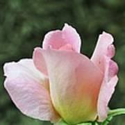 Tiffany Hybrid Rose Poster
