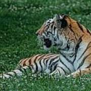 Tiger At Rest 4 Poster