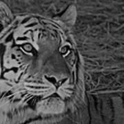 Tiger Bw Poster