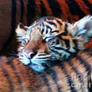 Tiger Cub Nap Poster