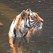 Tiger Getting Wet Poster