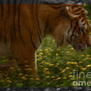 Tiger In The Midst Of Buttercups Poster