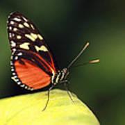 Tiger Longwing Poster