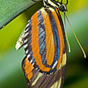 Tiger Mimic Queen Butterfly Poster