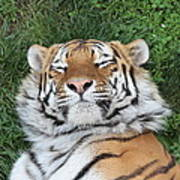 Tiger Nap Time Poster