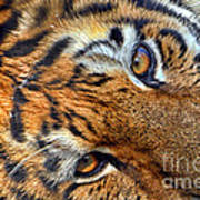 Tiger Peepers Poster