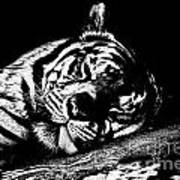 Tiger R And R Black And White Poster