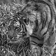 Tiger Stalking In Black And White Poster