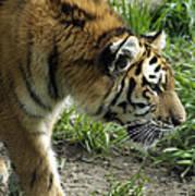 Tiger Stalking Poster