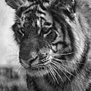 Tiger Stare In Black And White Poster