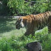 Tiger Stroll Poster