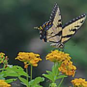 Tiger Swallowtail And Lantana Poster
