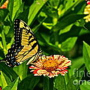 Tiger Swallowtail And Peppermint Stick Zinnias Poster