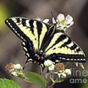 Tiger Swallowtail Butterfly 2a Poster
