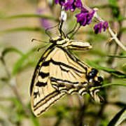 Tiger Swallowtail Butterfly Feeding Poster