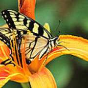 Tiger Swallowtail Butterfly On Daylily Poster