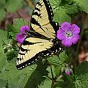 Tiger Swallowtail Butterfly On Geranium Poster