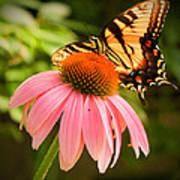 Tiger Swallowtail Feeding Poster