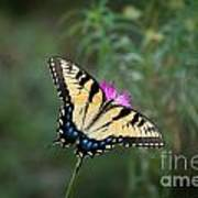Tiger Swallowtail I Believe Poster