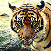 Tiger Tongue Two Poster