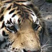 Tiger Water Poster