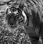Tiger With A Cold Stare Poster