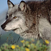 Timber Wolf Adult Portrait North America Poster
